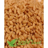 Wheat گندم
